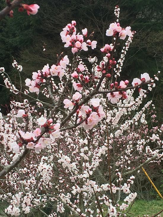 杏子の花(C)東洋医学・鍼灸・漢方用語辞典